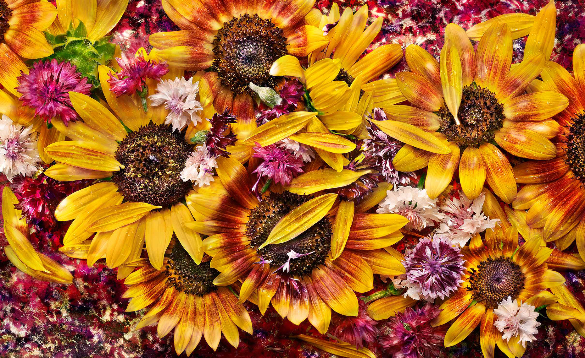 Edible Flower Series: Sunflowers and Bachelor Buttons