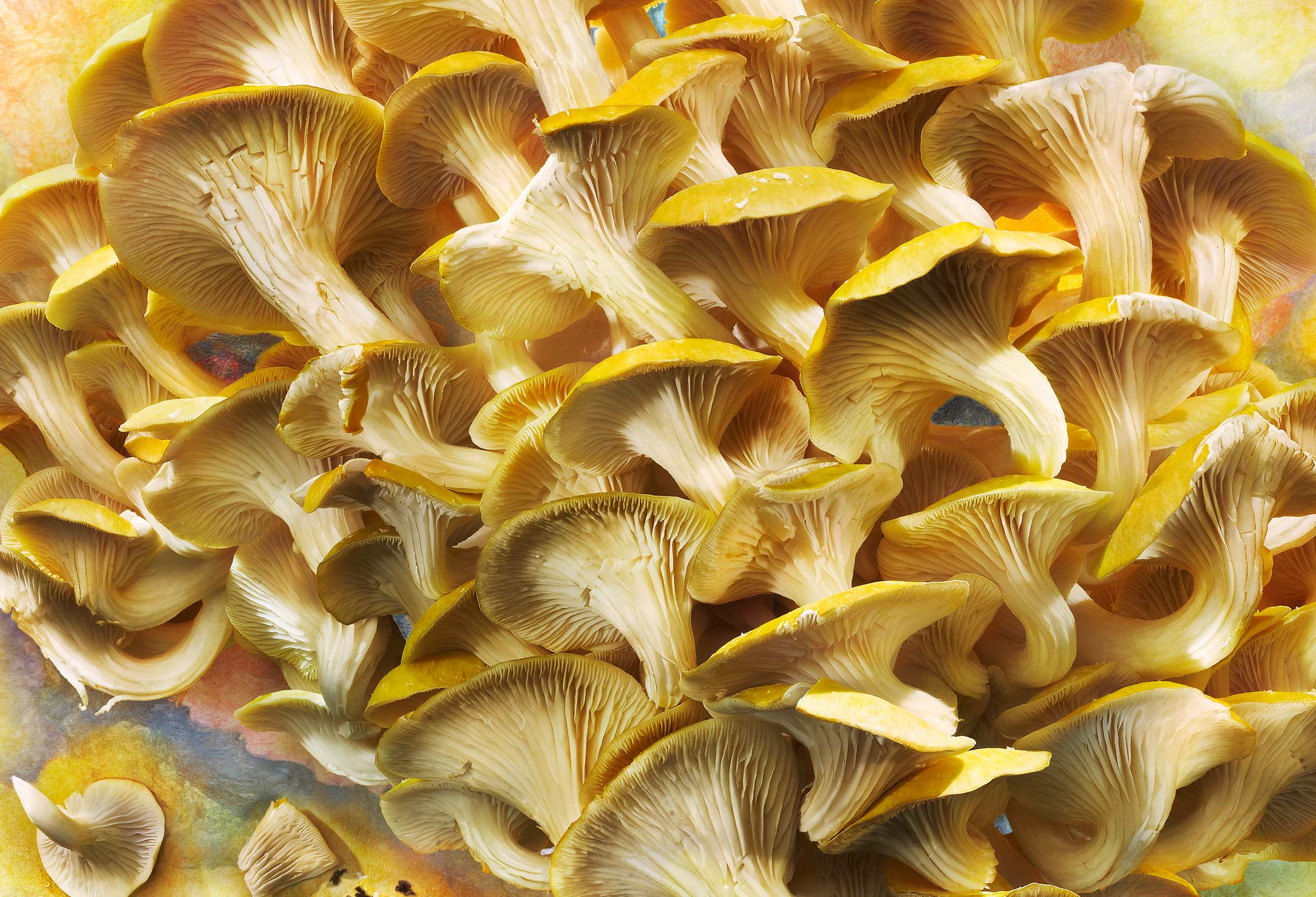 Golden-Elm-Mushrooms